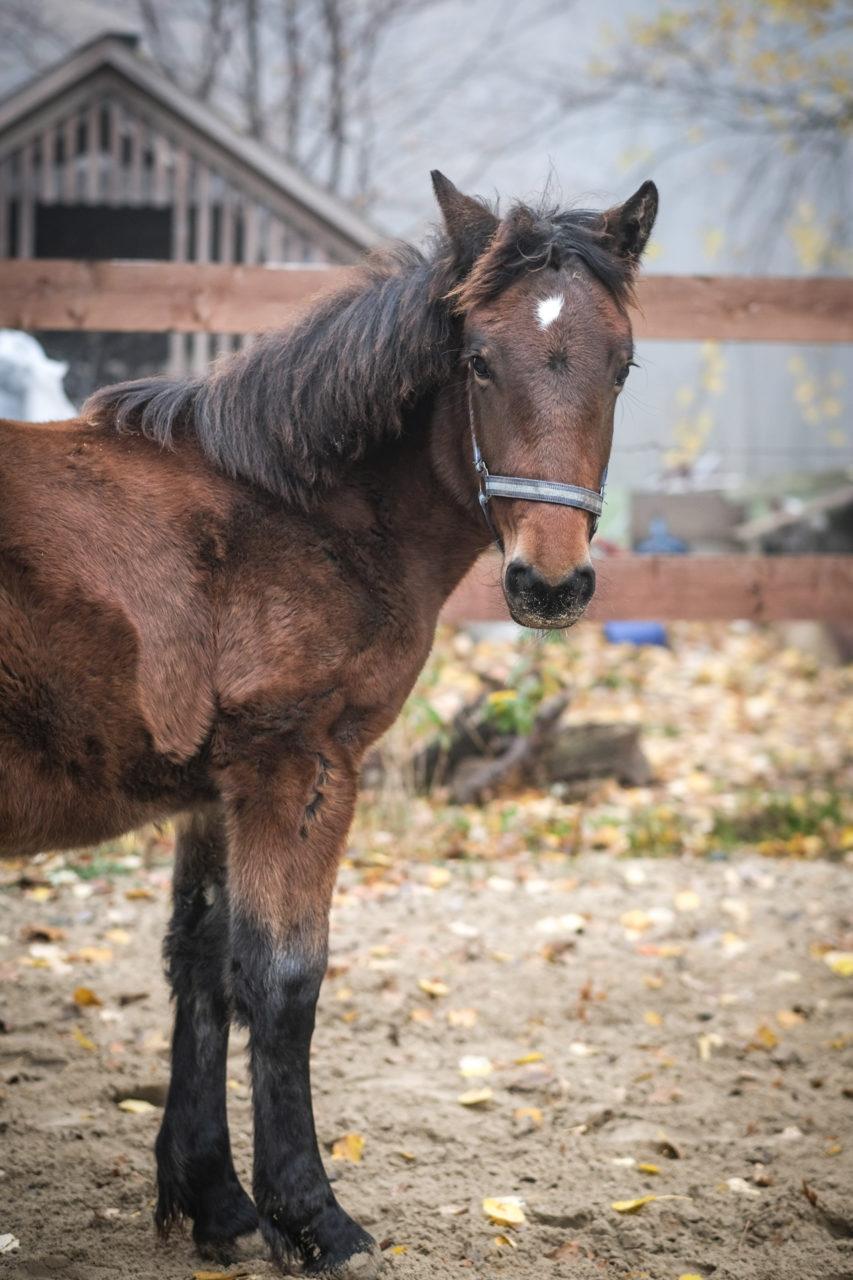 dunkelbraunes Pferd. Portrait von links. Steht seitlich und schaut zur rechten Seite.