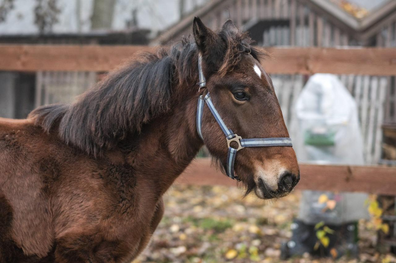 dunkelbraunes Pferd. Portrait von links. Steht seitlich und schaut nach vorne.