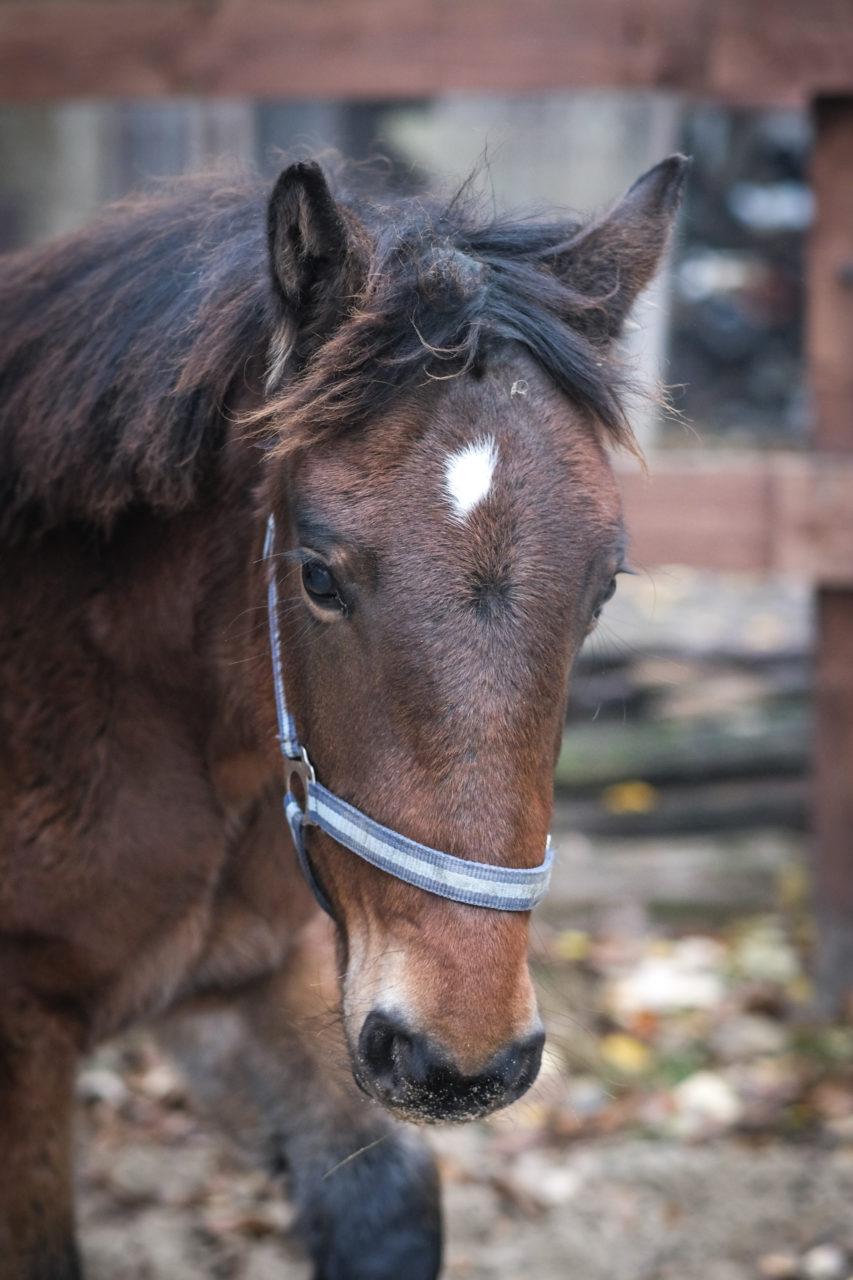 dunkelbraunes Pferd. Portrait von vorne links.