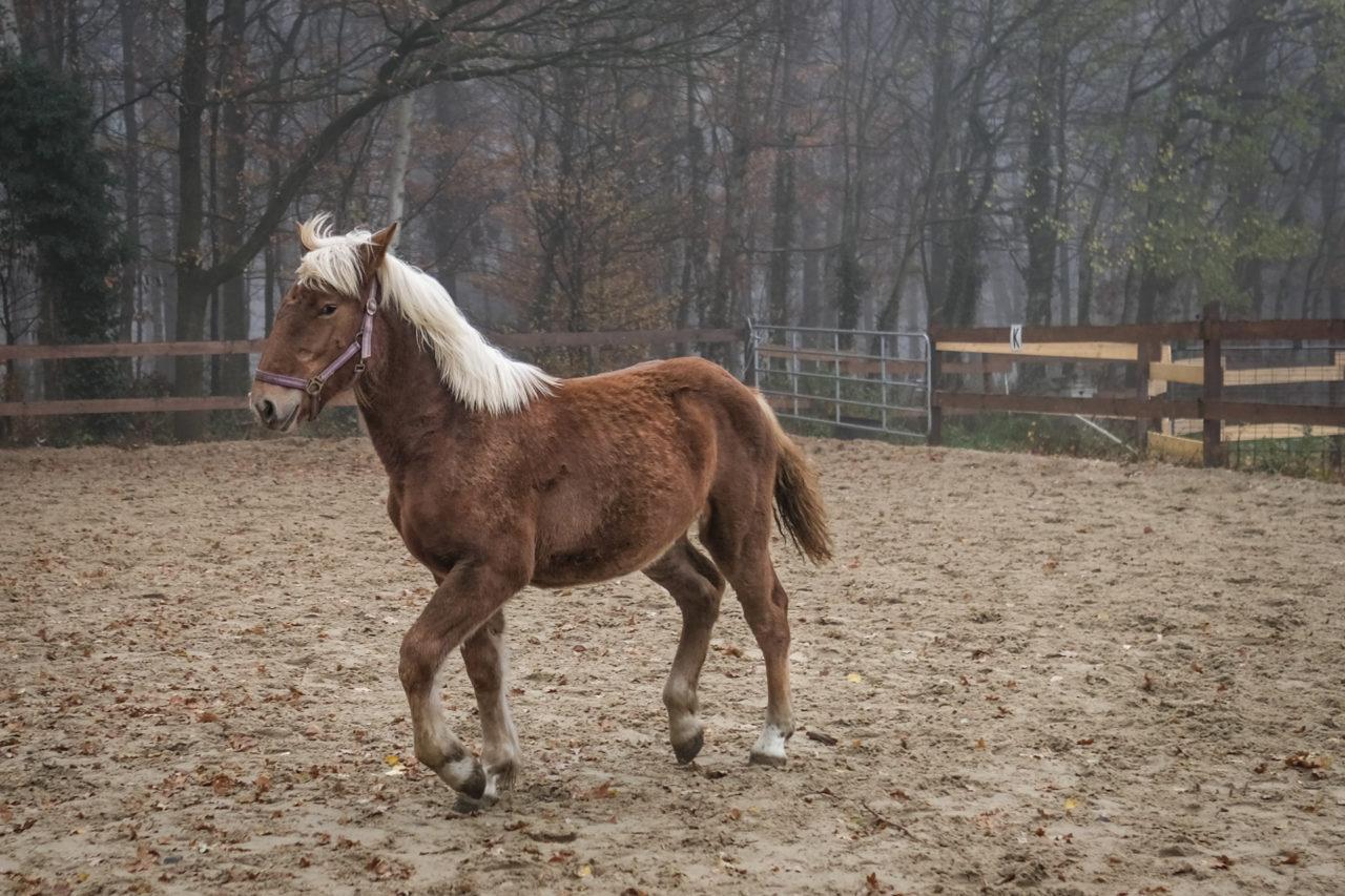 hellbraunes Pferd läuft in Koppel. Linke Seite vom Pferd.