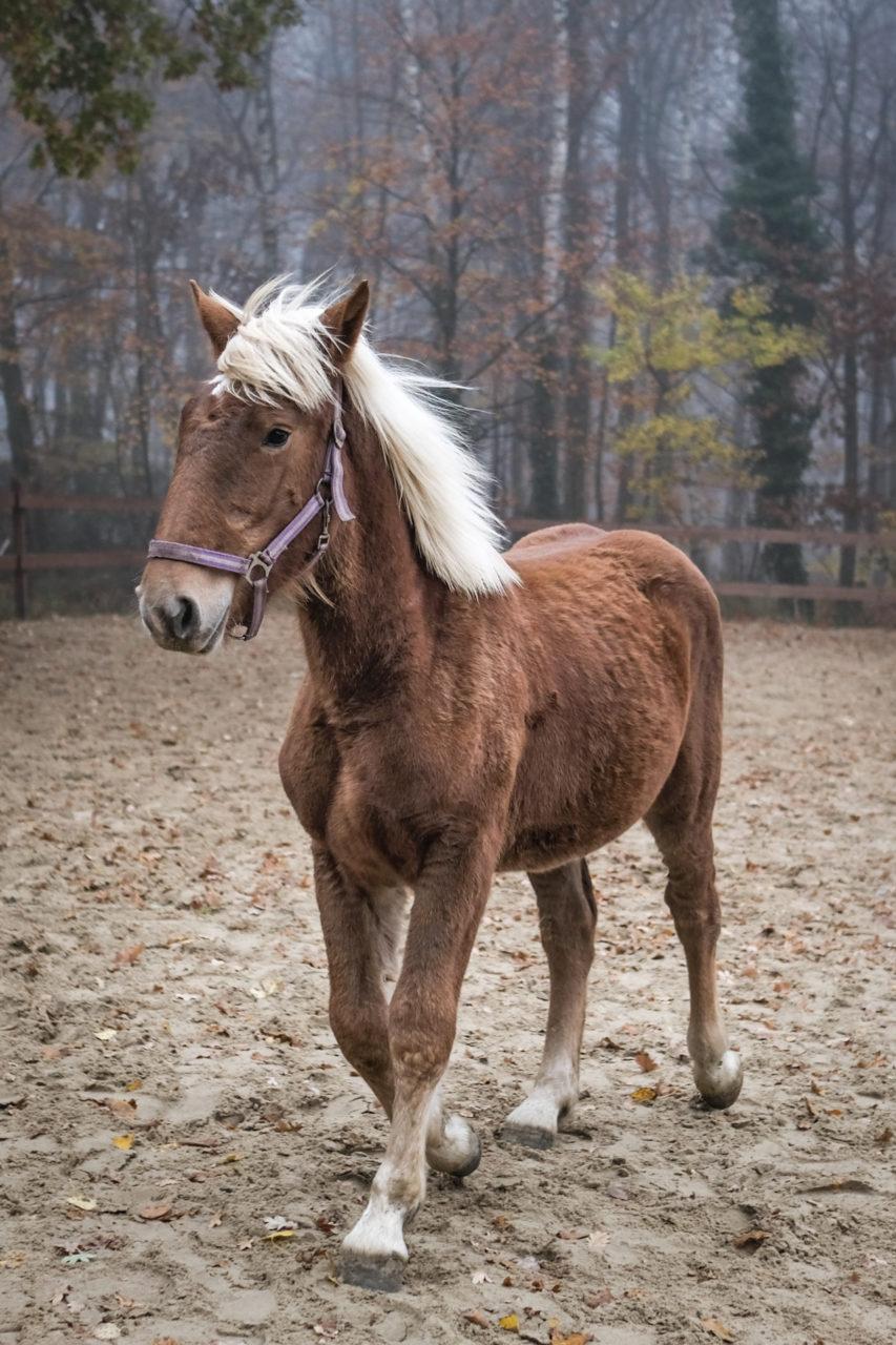 hellbraunes Pferd läuft in Koppel. Ansicht von schräg vorne links.