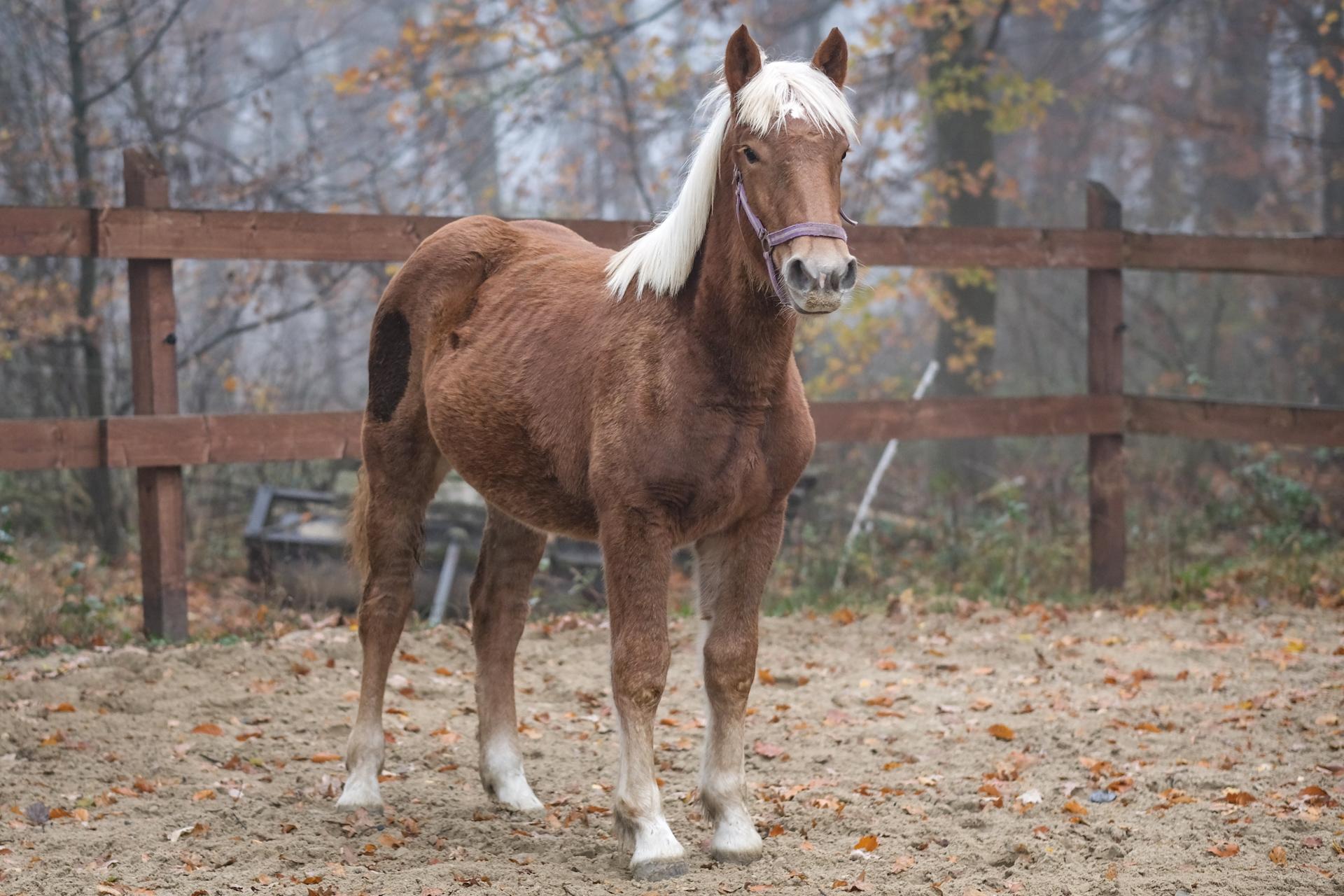 hellbraunes Pferd steht in Koppel. Ganskörperansicht Portrait von schräk vorne links.